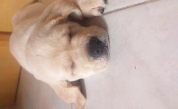 Labrador 60 giorni