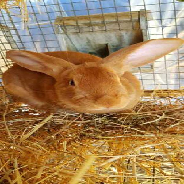 Vendo conigli fulvo di borgogna
