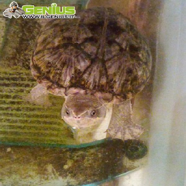 Tartaruga d'acqua non cresce oltre 12 cm, femmina, vivace e