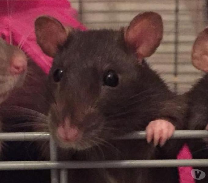 Ratti da compagnia