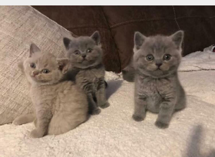 British shorthair cuccioli nati in casa