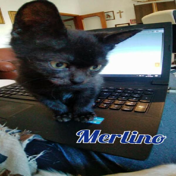 Merlino micino nero di tre mesi
