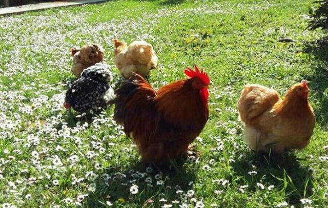 Collaboratore per allevamento amatoriale animali da cortile