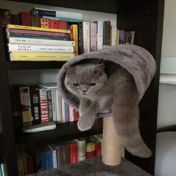 Cerco gatto maschio british shorthair