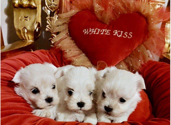 Cuccioli 'white kiss' pronti per marzo-aprile