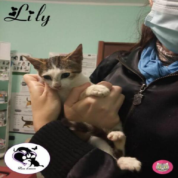 Lily, tenera gattina in adozione