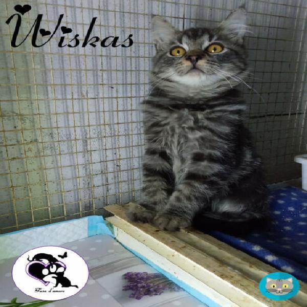 Wiskas, stupendo micino in adozione!
