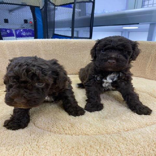 Cuccioli neri di barbone puri