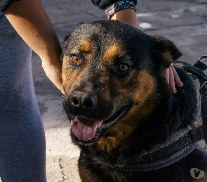 Adozione del cuore simil rottweiler 5 anni fabrizio bari - adozione cani e gatti