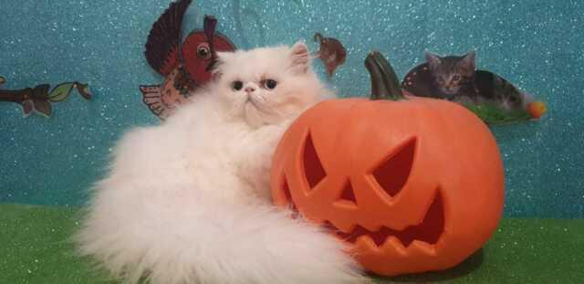 Gatto persiano bianco occhi azzurri