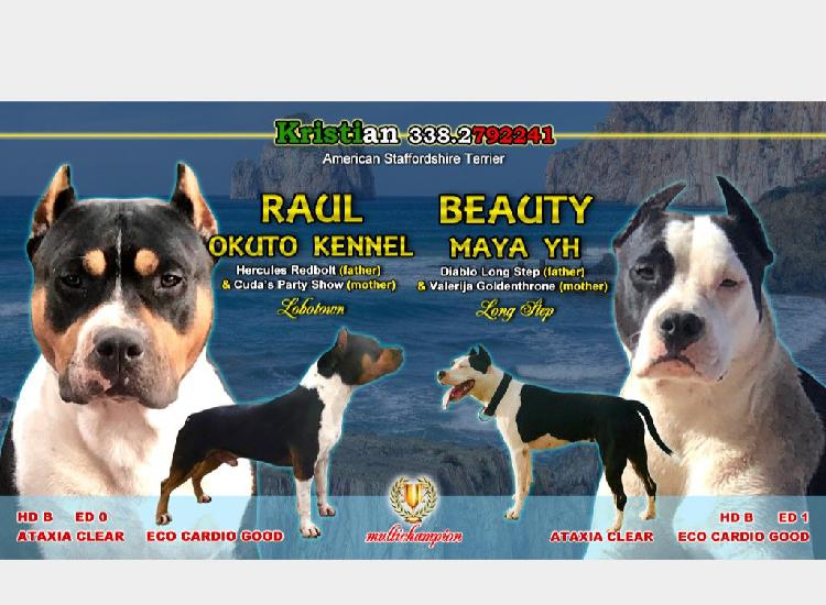 American staffordshire terrier
