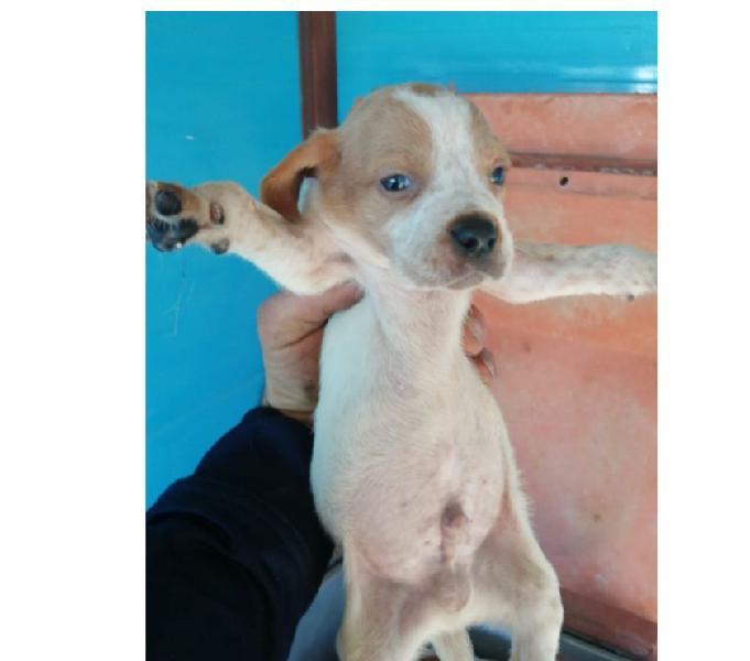Cuccioli segugi taglia media in adozione siena - adozione cani e gatti