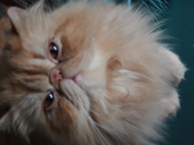 Gatto persiano per accoppiamento
