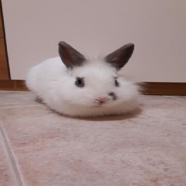 Macchia-coniglio in adozione