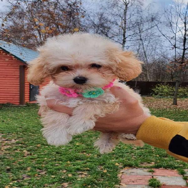 Regalo cuccioli di barboncino giocattolo ben addestrati
