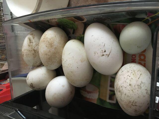 Uova fertile oche galline l'araucana,