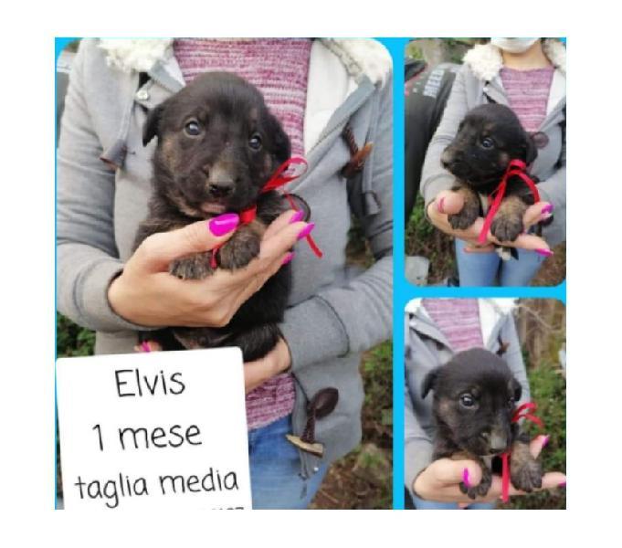 Cucciolo cerca casa - elvis airola - adozione cani e gatti