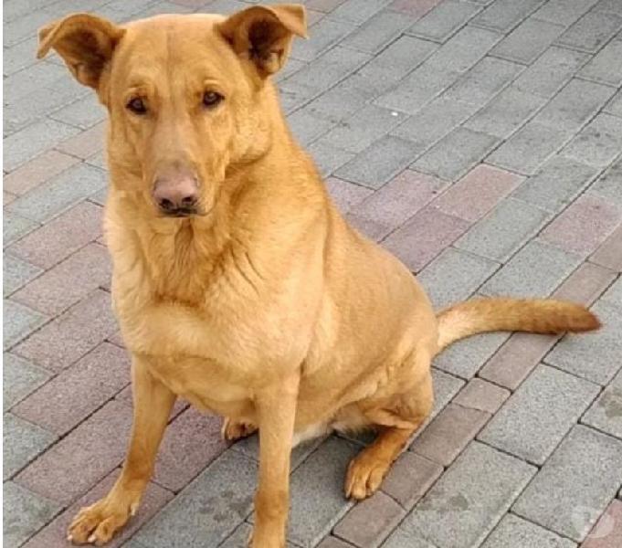 Lucky bellissimo cane tutto d'oro segrate - adozione cani e gatti