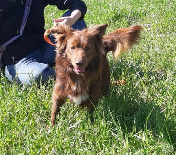 Lindor - cane taglia piccola cerca casa san giuliano milanese - adozione cani e gatti