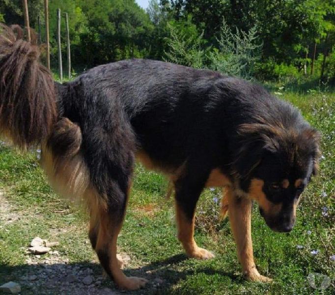 Terry: giovane taglia grande giocosa e socievole genova - adozione cani e gatti