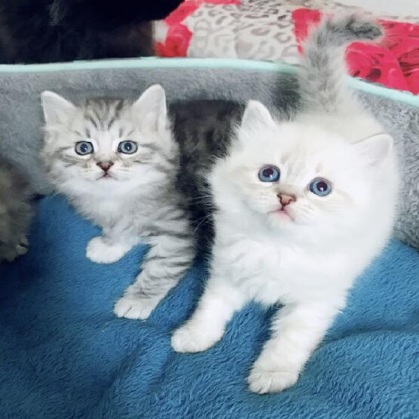 Cuccioli pura razza gatto siberiano ipoallergenico