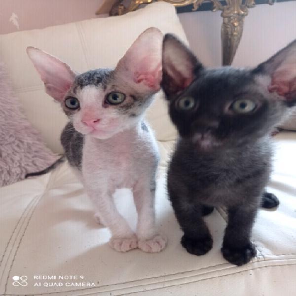 Bellissimo gattino di Don Sphynx