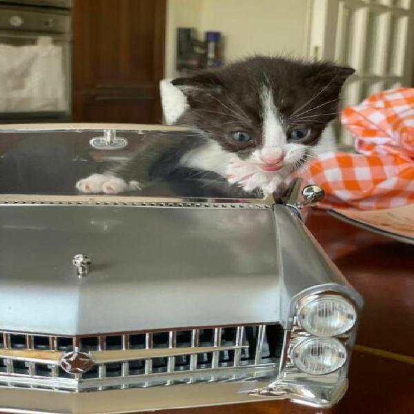 Gattine in adozione