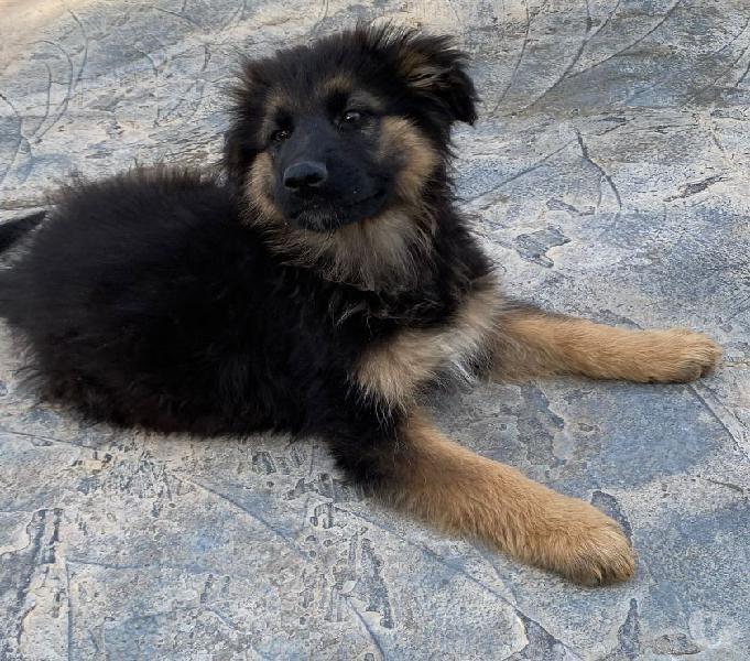 Frido, 3 mesi, incrocio pastore a pelo lungo cerca casa! lucca - adozione cani e gatti