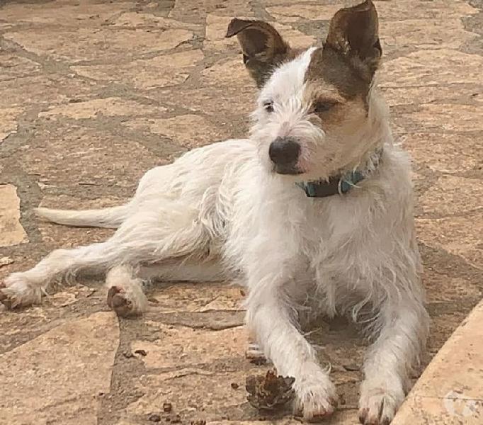 Simil jack russel modena - adozione cani e gatti