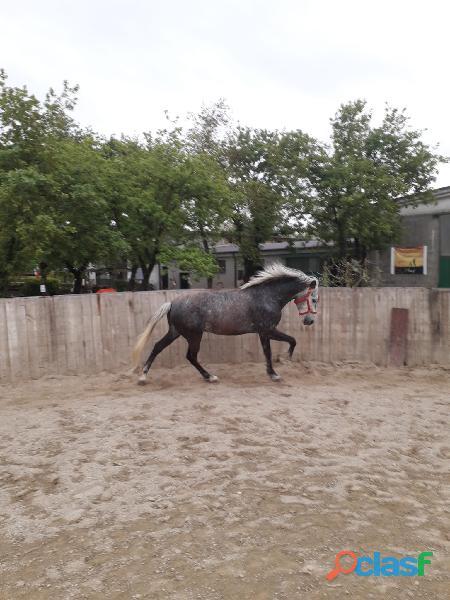 Cavallo in mezza fida