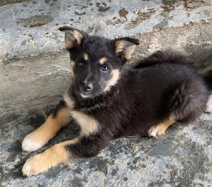 Lupina, cuccioletta di 2 mesi e mezzo cerca famiglia. brescia - adozione cani e gatti