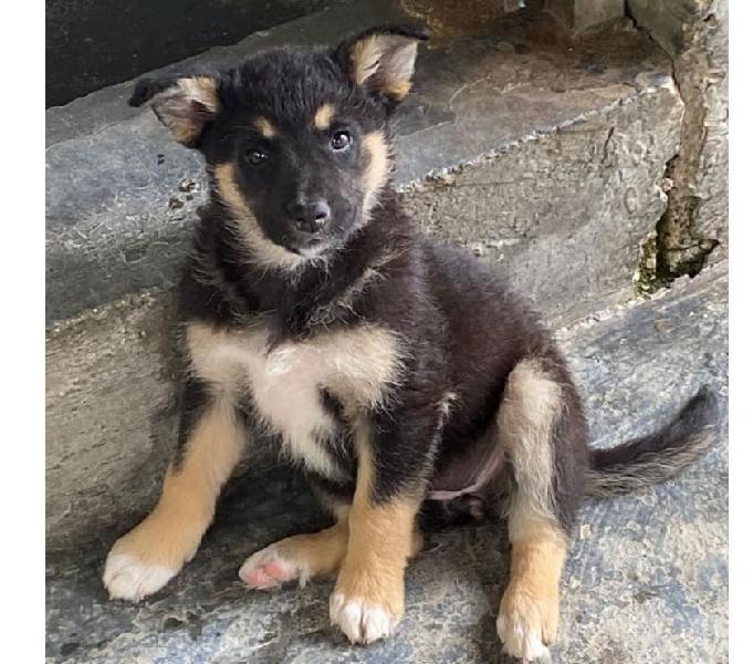 Lupina, cuccioletta di 2 mesi e mezzo cerca famiglia. vicenza - adozione cani e gatti