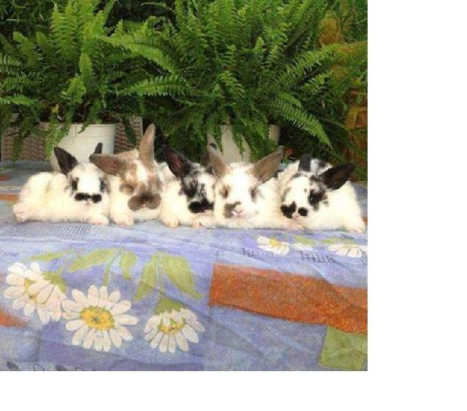 Conigli nani san giuliano terme - animali in vendita