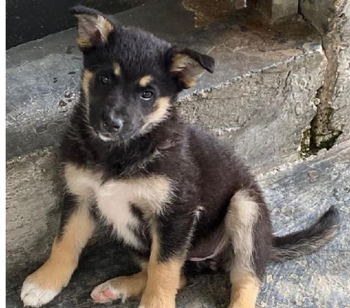 Lupina, cuccioletta di 2 mesi e mezzo cerca famiglia. rimini - adozione cani e gatti