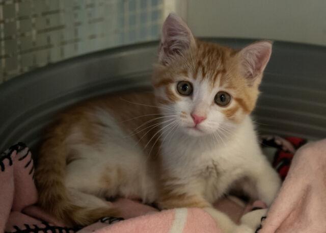 Dolce gattina di due mesi cerca adozione
