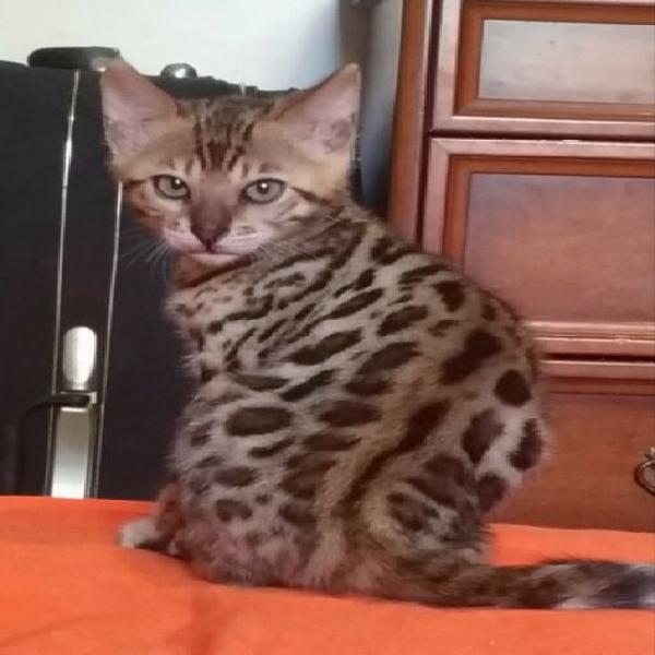 Cuccioli gatto del Bengala