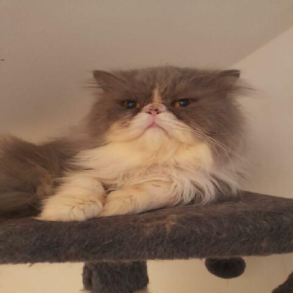 Gatto persiano da adottare
