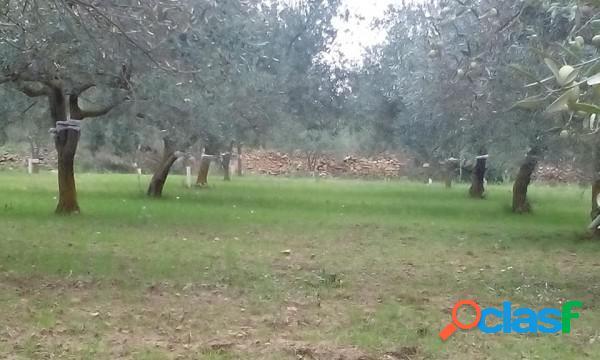 Olio extravergine di oliva 100% sicilia latta 5 lt raccolta 2018