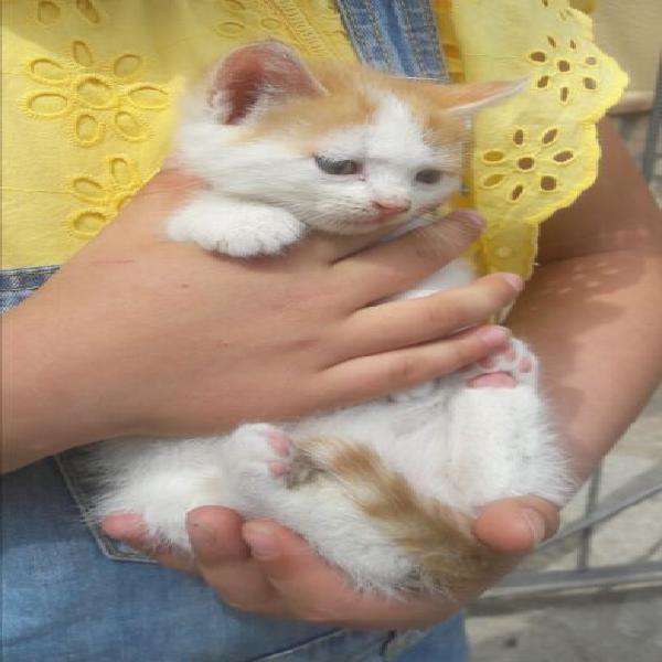 Cucciolo di gatto, 2 mesi
