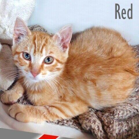 Red, un micino di 3 mesi, aspetta una famiglia