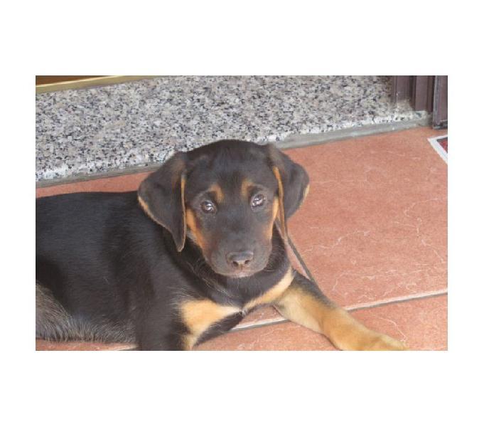 Giorgio 3mesi cucciolo coccoloso varese - adozione cani e gatti