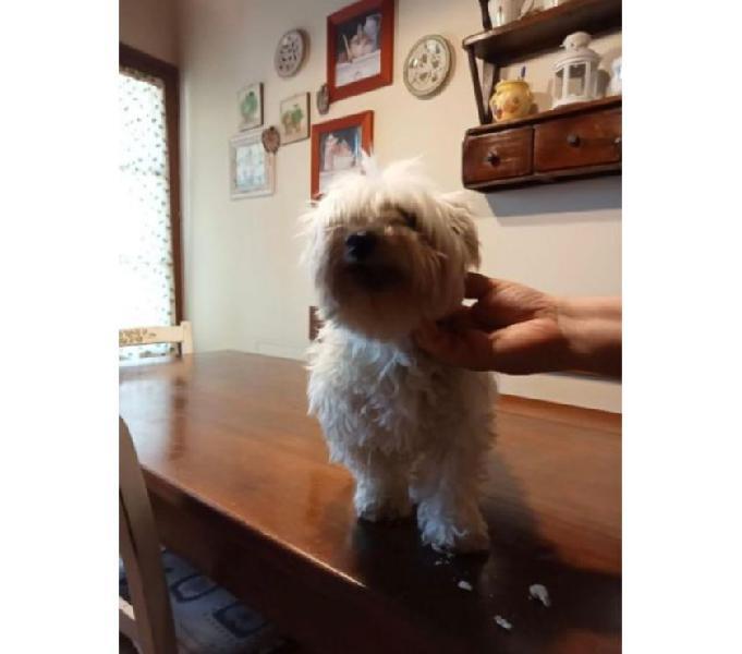 Maggie 8-9anni adorabile maltese - urgente firenze - adozione cani e gatti
