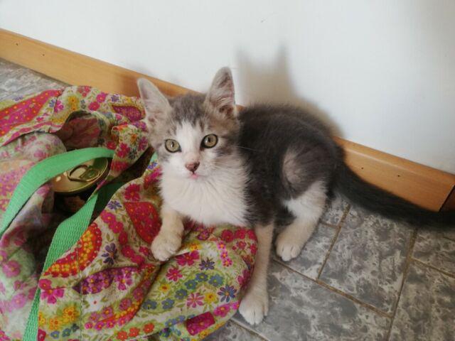 Gattino traballino 2/3 mesi, adozione del cuore