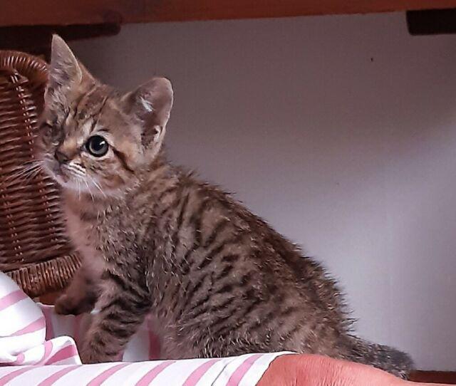 Regalo gattino trovatello di 2 mesi a curtarolo pd
