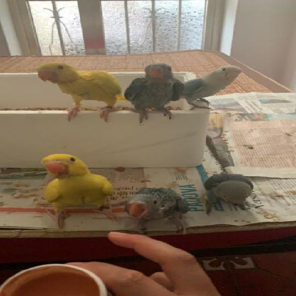 Vendo tanto pappagallo di razza