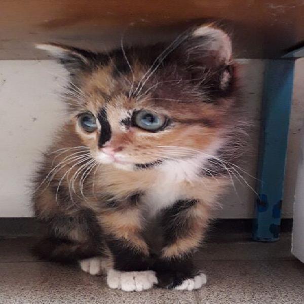 Gattina europea di pochi mesi