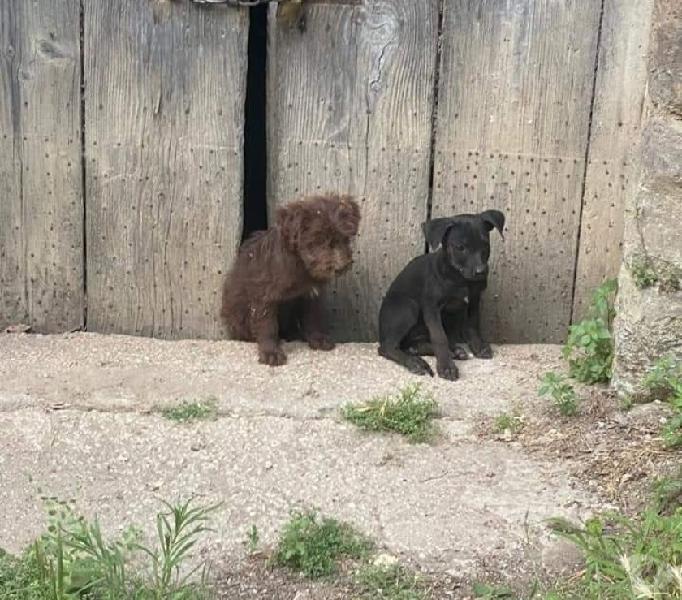Alba e Chiara: cucciole taglia media Genova - Adozione cani e gatti