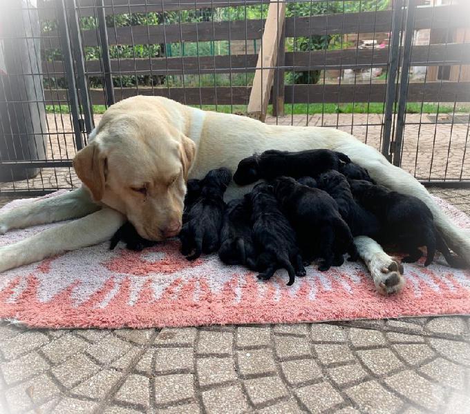 Cuccioli di labrador retrievers frascati - animali in vendita