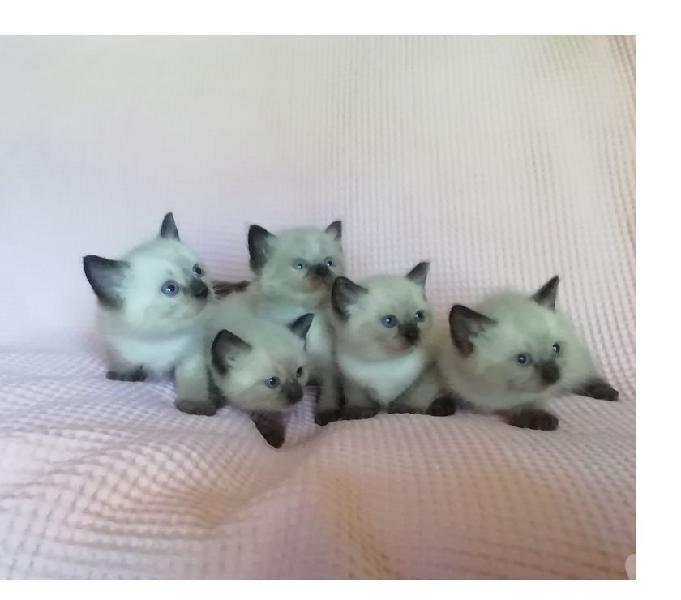 Siamesi roma - animali in vendita