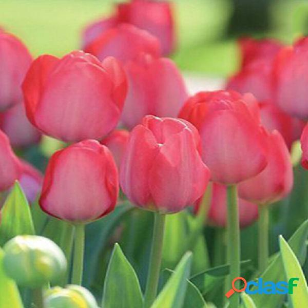 Tulip seed ball tulip big ball fiore di coltivazione idroponica multicolore